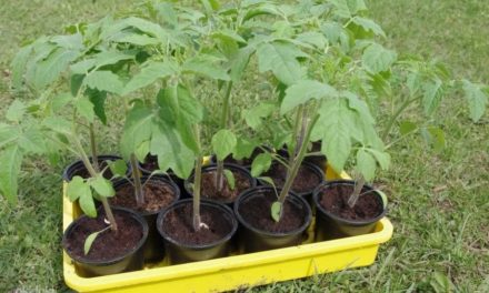 Tomati taimede müük aiandis.
